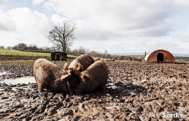 Rare Breed Pigs